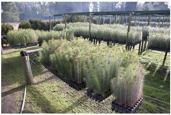 La empresa Pinamar SA posee su propio vivero para tener siempre a la ciudad provista de pinos